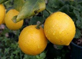 Saldēti citroni - laba piedeva dažādiem ēdieniem