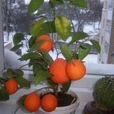 Kā izaudzēt mandarīnus no sēkliņas mājas apstākļos